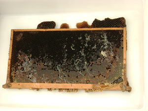 One of the frames from the hives full of honey.