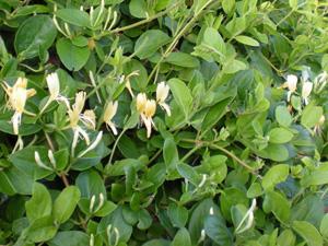 The malva and honeysuckle were beautiful and abundant.